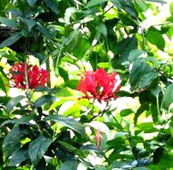 Hibiscus3a.jpg